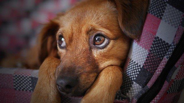 犬 目やに